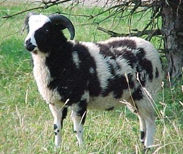 اغنام يعقوب Jacob sheep Jacobewe.jpg