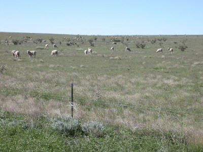 sheep grazing in New Mexico