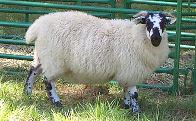 Scottish Blackface ewe