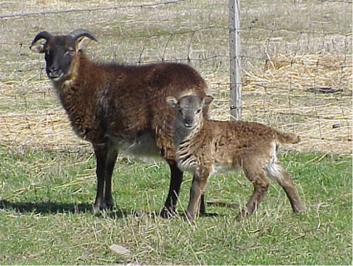 Soay ewe and lamb