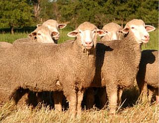 نژاد تارگی/Targhee sheep