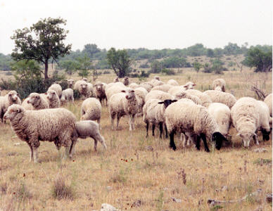 Sheep in Texas