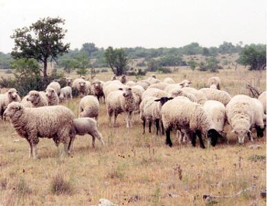 Sheep 101: Raising sheep