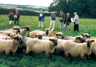 Oxford ewes in the UK