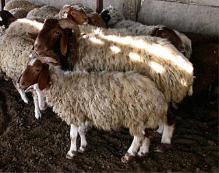 اغنام العساف Assaf sheep awassisheep.jpg