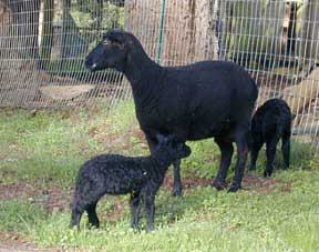 Black Welsh Mountain ewe and lambs