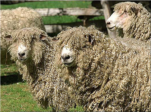 http://www.sheep101.info/Images/colwilliamsbrg.jpg