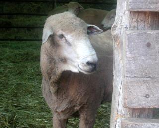Sheep 101: Sheep terms