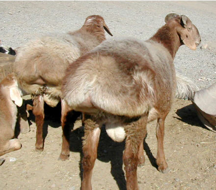 Fat-tailed sheep in Afghanistan (image by Fardeen Omidwar