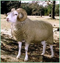Gulf Coast Native ram