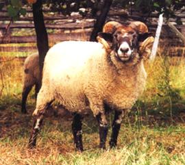 sheep 101 sheep breeds g i