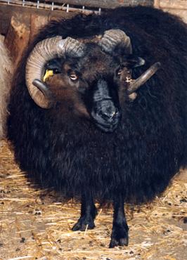 horns-icelandic.jpg
