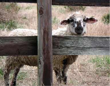 Lamb behind fence