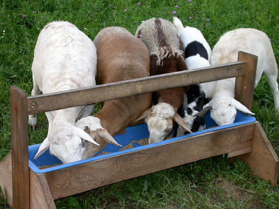 lambs and goats eating a whole barley-based diet