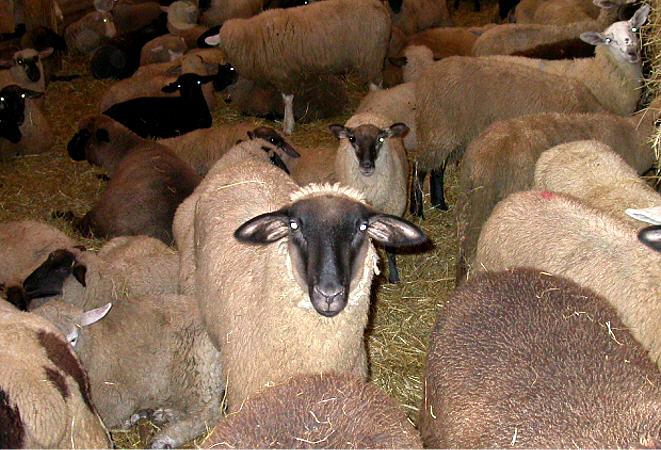 ������� ������ ������ ���� lambsmarket.jpg