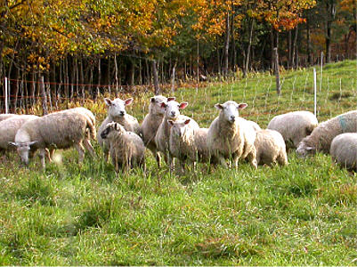 Organically produced lambs