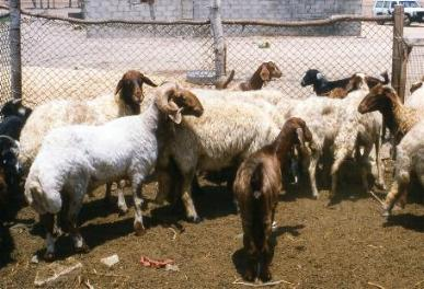Ossimi sheep
