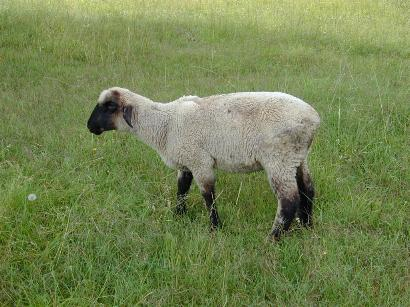 Parasitized lamb