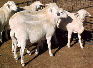 Royal White rams