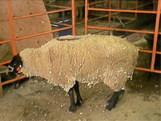 Sheep 201: classification of sheep diseases