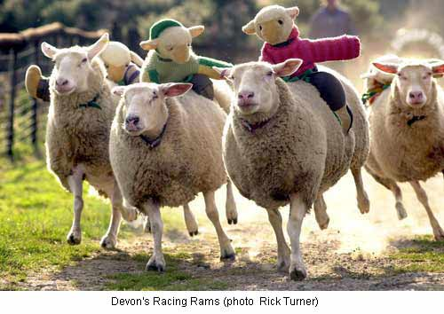 racing sheep