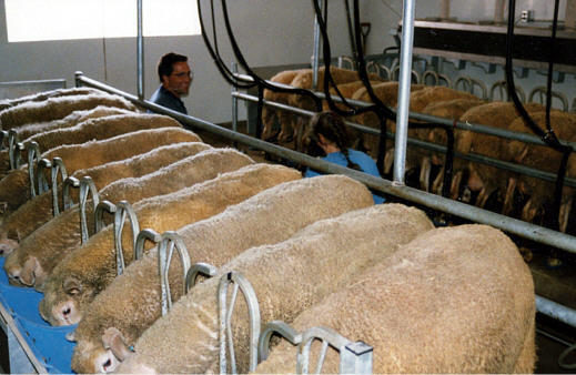 Sheep dairy at the University of Wisconsin Spooner Research Station