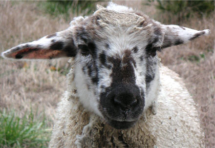 smut-faced lamb