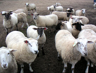 Sheep 201: Breed Selection